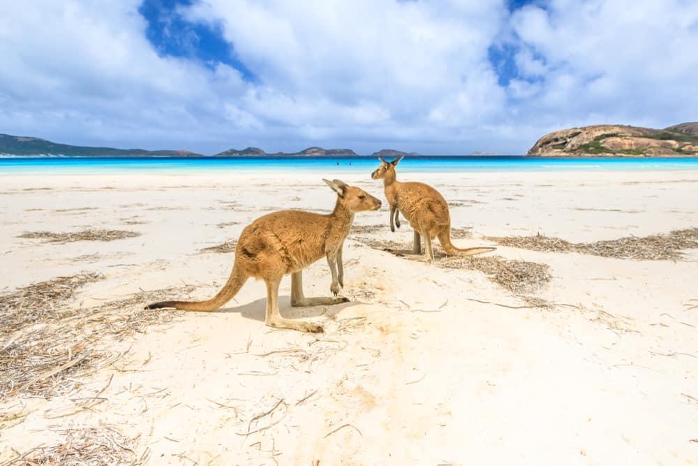 Canguros en la playa de Lucky Bay, Esperance