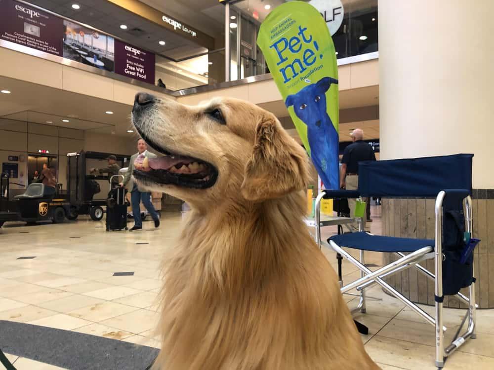 Perro Golden Retriever en el aeropuerto