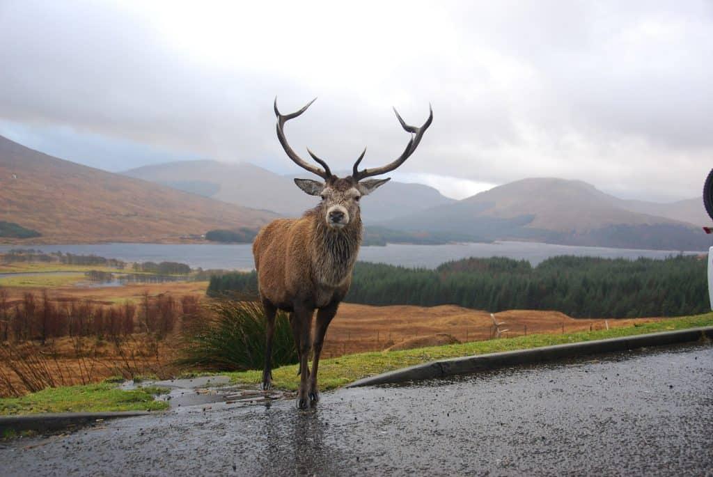 Ciervo Escocia