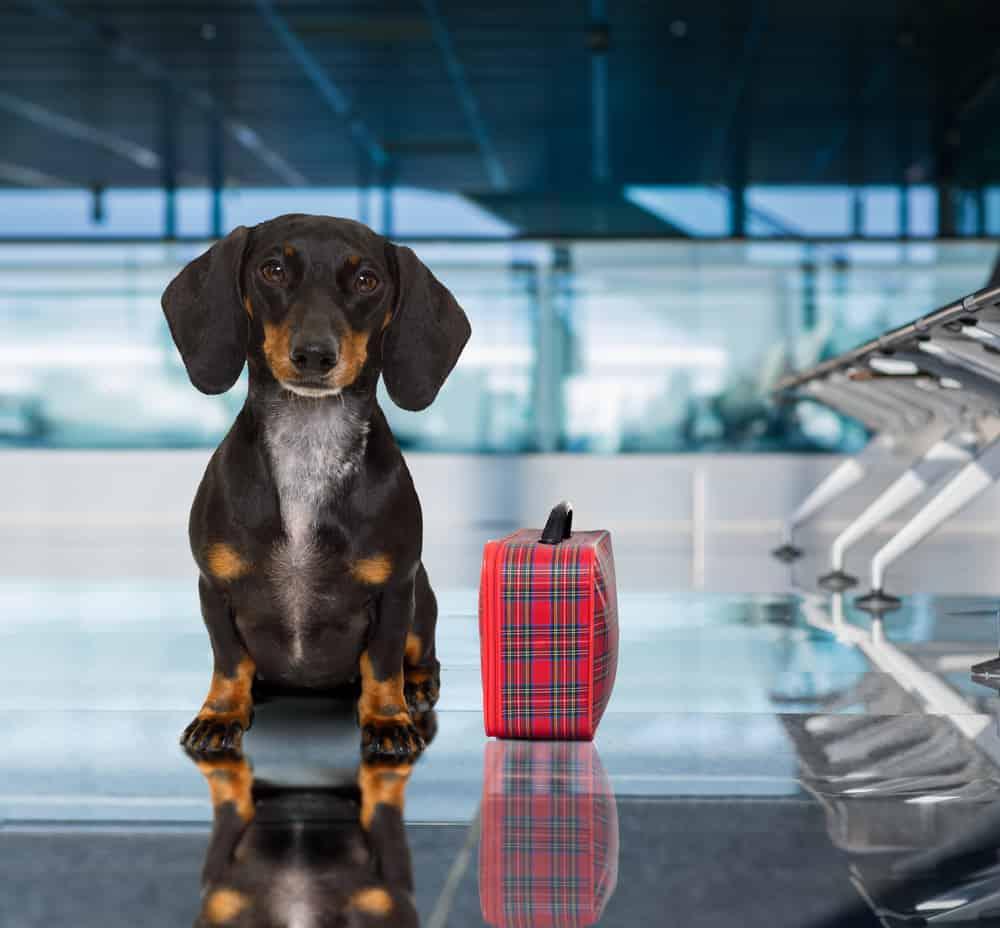 Perro viajando en el aeropuerto